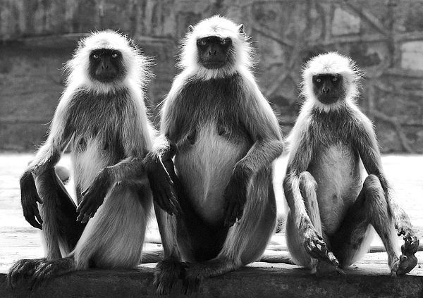 On the hills surrounding Jaipur, India, is a temple known as Monkey Temple, home to a large tribe of highly mischievous Macaques.