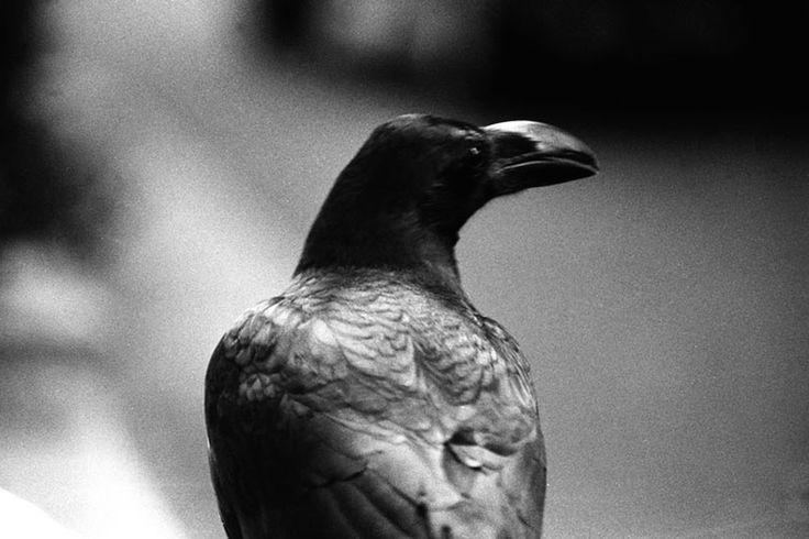 raven beak