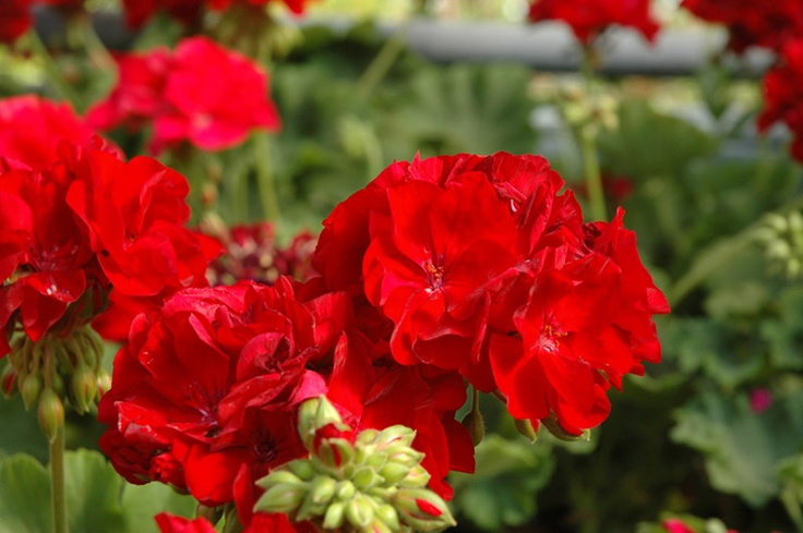 Zonal Geranium Cumbanita Dark Red Герани