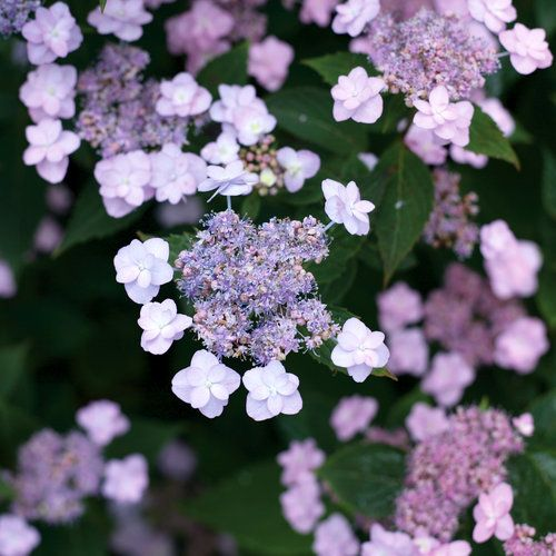 Tiny Tuff Stuff™ - Mountain Hydrangea - Hydrangea serrata - Opens blue and then Turns pink