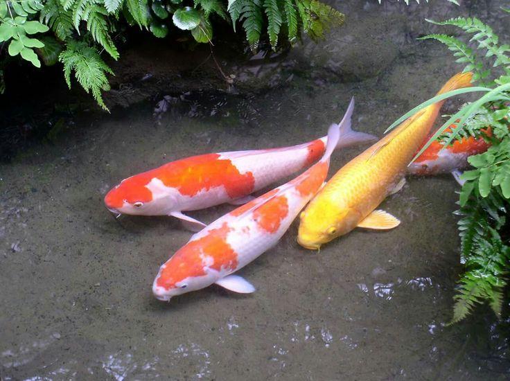 895 best koi pond images on pinterest koi ponds koi and for Shallow koi pond