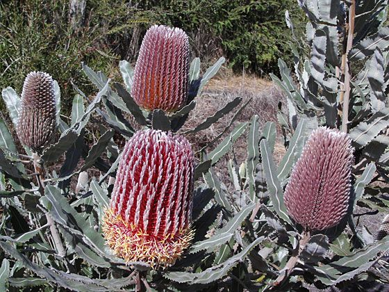 Banksia Gallery