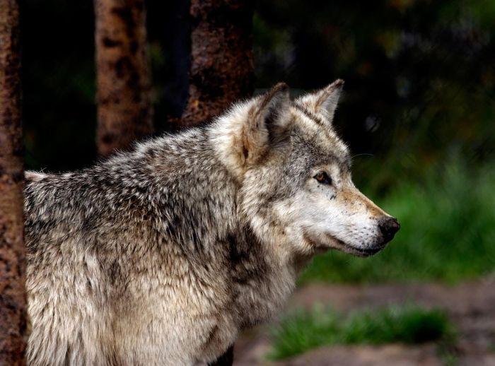 野生のオオカミの写真を acidcow.comより紹介します。 オオカミは映画や物語においては恐ろしい存在で、その遠吠えが恐怖の象徴として描かれることが多くあります。グリム兄弟の「赤ずきん」でも人食いオオカミが登場しますよね。そのような偏見のもと、オオカミは家畜を襲う害獣として駆除の対象とされてきました。今や世界的に絶滅の危機に瀕しています。  他の動物達と同じくオオカミは人を恐れ、基本的に人を襲いません。狂犬病にかかったり餌付けで人を恐れなくなったなど、特殊な条件下で極めてまれに人を襲うケースがある程度で、人身害はほとんど発生していません。 オオカミの怖いイメージから離れ、高度な社会性を持つ優れた野生動物として理解すると、見る目も変わってくると思います。今回の写真はそんなオオカミの魅力が感じられるものばかりです。オオカミって表情が凛々しくててカッコイイよね。                                                                      ...