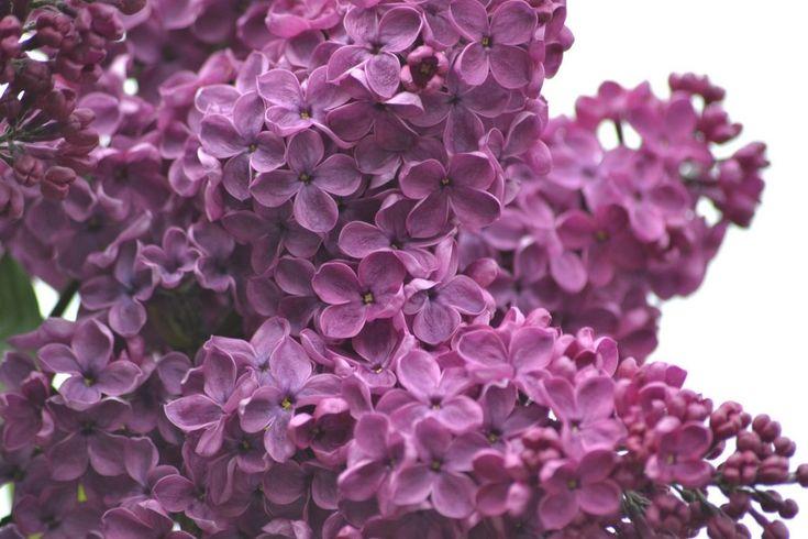 Fiori commestibili: #lillà  #Fiori #commestibili #edible #flowers #rose #rosa #roses #yellow #giallo #pink #white #bianco #gnam #cibo #food #eatflowers #mangiarefiori #flowerpower #iloveflower #amoifiori