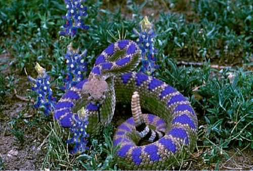 fake texas bonnet rattlesnake one can certainly find