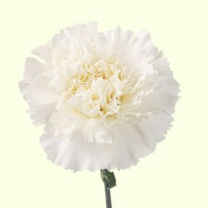 Carnation Delphi - http://flowersavage.com/product/white-carnation-delphi/ Carnation Delphi white is available as wedding flowers delivered by The Flower Savage - specialist wholesale flower delivery online. Event flowers UK wide