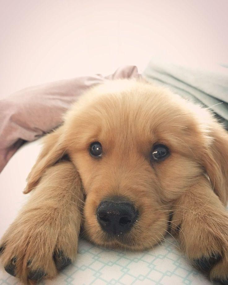 Golden Retriever Puppy Dogs Golden Retriever Golden Puppy