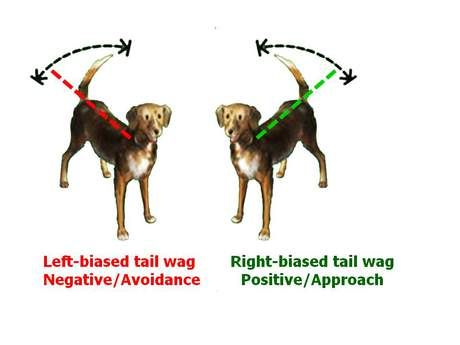 Dogs, like humans, have brains with right and left hemispheres, and, as in humans, motor behaviors are controlled by opposite sides of the brains. Left-biased tail wag means negative feelings/Avoidance. Right-biased tail wag means positive emotions/Approach.