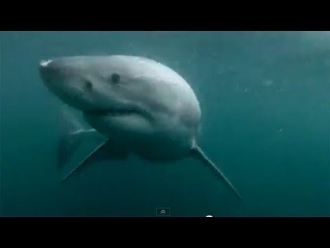 Man Fights Off White Shark In Sydney Harbour | RAW FOOTAGE