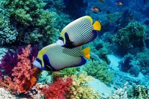 Emperor angelfish (Pomacanthus imperator) swimming past soft corals (Dendronephthya sp). Egypt, Red Sea. - Georgette Douwma/Photographer's Choice RF/Getty Images