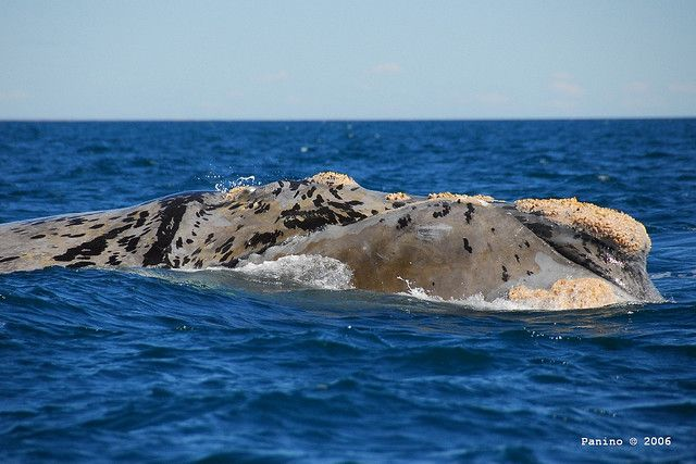 White Southern Right Whale Head by PaninoPhoto on Flickr.