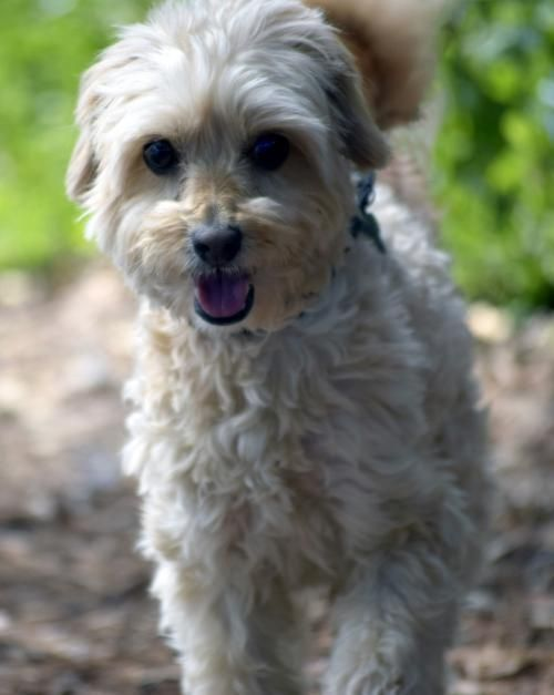 Dublin Is An Adoptable Maltese Searching For A Forever Family