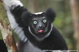Indri.