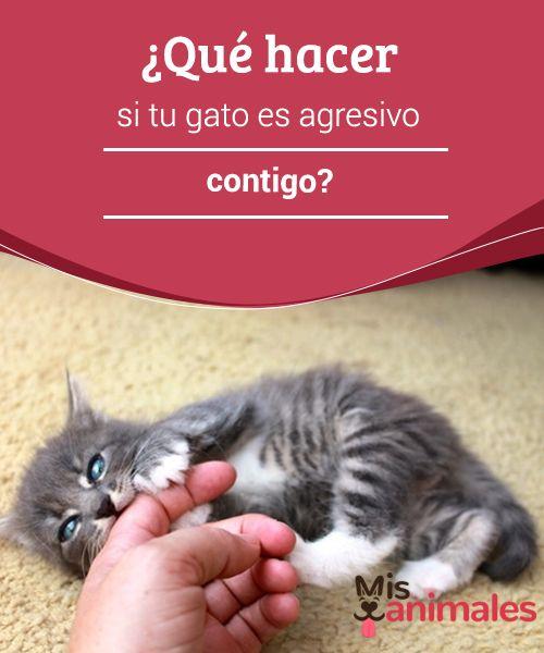 ¿Qué hacer si tu #gato es agresivo contigo?  El carácter de los gatos, aun cuando son cariñosos, esconde #cierto grado de #agresividad que en ocasiones podría volverse contra nosotros. No es lo más común, pero en ocasiones un #felino puede volverse agresivo hasta con nosotros.