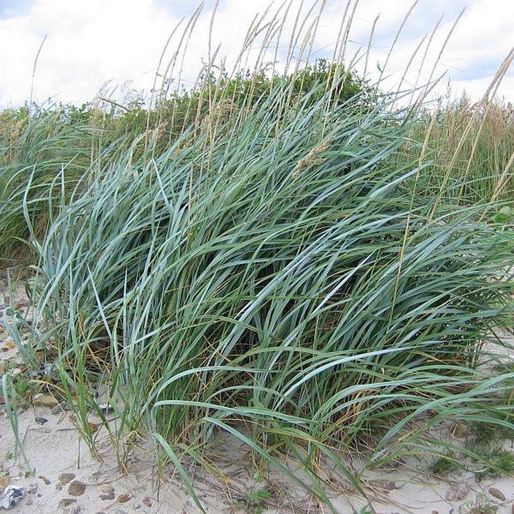 €4,95 persistant 0,30 à 0,60m - Leymus arenarius 'Fil Bleu' - Elyme des sables - Blé d'azur