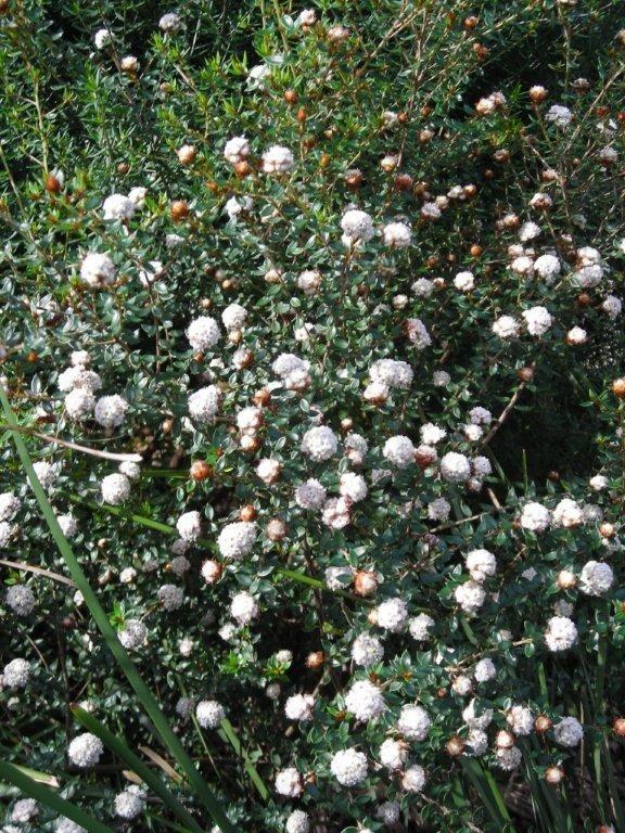 Stenanthemum scortechinii