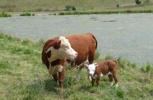 Miniature Hereford Cow and Calf; so beautiful