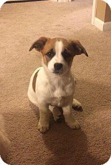 Sunset Hills, MO - Corgi/Cattle Dog Mix. Meet Sugar, a puppy for adoption. http://www.adoptapet.com/pet/17884735-sunset-hills-missouri-corgi-mix