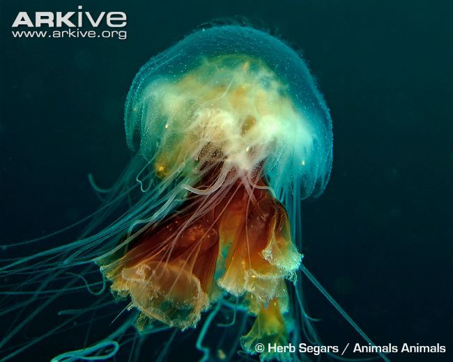 b for bel: World's Largest Jellyfish Measured Longer than Blue Whale!