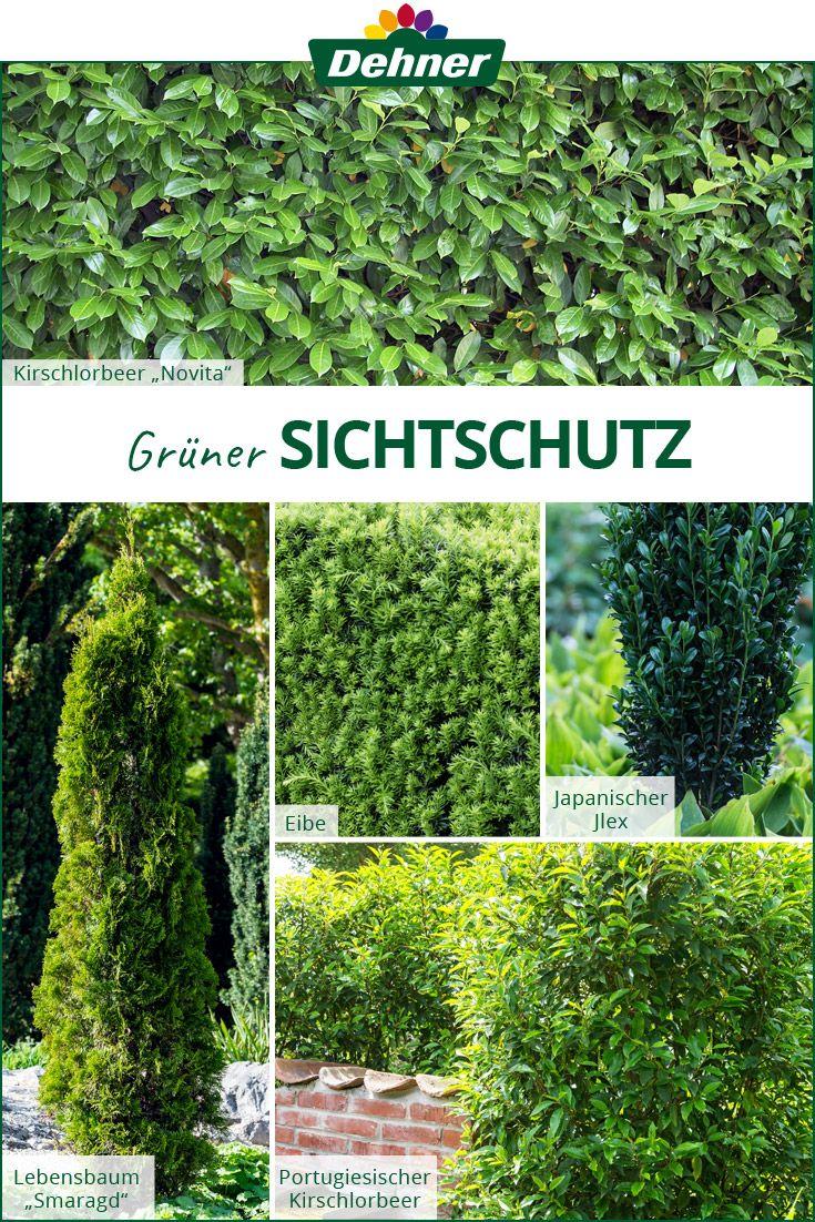 Balkon Sichtschutz Pflanzen Winterhart Immergrün