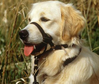 Head halters can be great for dogs, but many dogs need to be trained to wear them willingly.