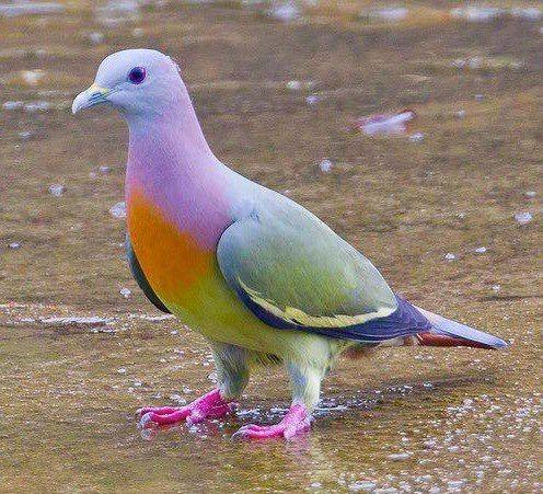 """Ce pigeon multicolore (qui n'est absolument pas photoshopé) est aussi appelé """"Treron vernans"""". On le trouve dans certains pays d'Asie comme le Cambodge, Indonesie, Malaysie, Myanmar, les Philippines, Singapour, Thailande, ou encore le Vietnam.  Photographie par Chong Lip Mun"""
