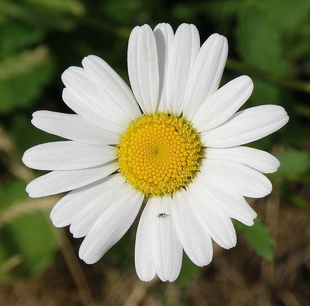 Heřmánek pravý - http://www.semena-rostliny.cz/bylinky-semena/161-rostlina-hermanek-semena-pravy.html