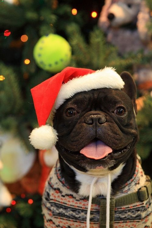 French Bulldog at Christmas! | Holiday Animals | French ...