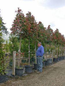 Photinia Red Robin - tree form - Wykeham Mature Plants