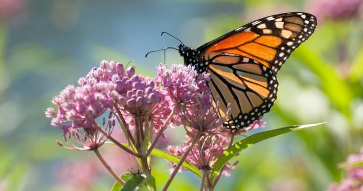 Biological Conservation for Monarch Butterflies - Patterns and Causes of Oviposition in Monarch Butterflies: Implications for Milkweed Restoration