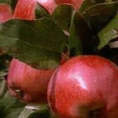 Pick-Your-Own Apple Farms for Families on Long Island