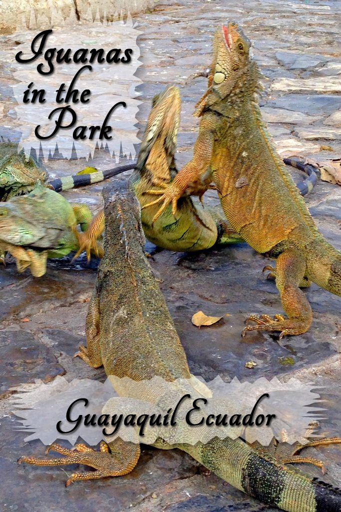 Guayaquil's Parque Seminario is the only downtown park in South America that boasts a large population of iguanas roaming freely.  Pigeons and iguanas abound this unique urban park in Ecuador.