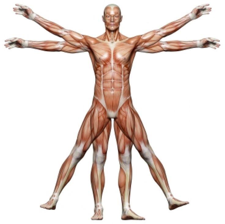 Mejores 103 imágenes de cuerpo en Pinterest   Cuerpo, Cuerpo humano ...