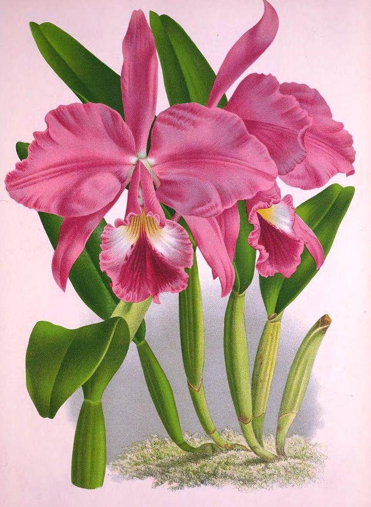 """""""A grande classe das epífitas, entretanto, disseminada em múltiplas variedades de caprichosas orquídeas, difere, por sua orgulhosa vida au..."""