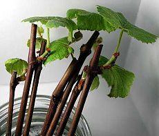 MED - un estimulante plántulas VIDA.para enraizamiento 2 cucharadas de miel por cubo de agua dejar 2 dias esquejes ,para florecer rociar con 2 cuharadas de miel cocido en un cubo de agua