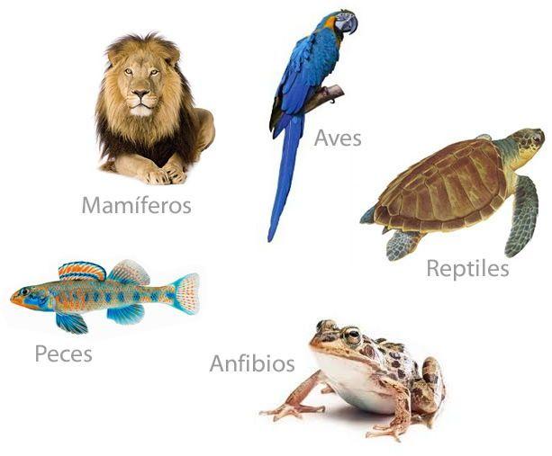 Características y clasificación de los animales vertebrados.  Una vez que ha quedado claro cuáles son los seres vivos y los seres inertes, nos vamos a centrar en el estudio de uno de los grupos de seres vivos: los animales y; en concreto, los vertebrados (mamíferos, aves, peces, anfibios y reptiles).