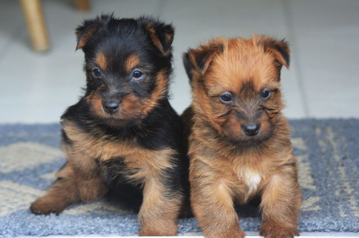 Australian Terrier Puppies ♡ I remember when Wilfred was this small!