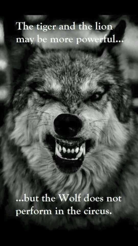 La #tigre e il #leone potranno anche essere più #forti, ma non si è mai visto un #lupo in un #circo. #quotes #lifequotes #lion #tiger #wolf #strenght #forza #mytumblr