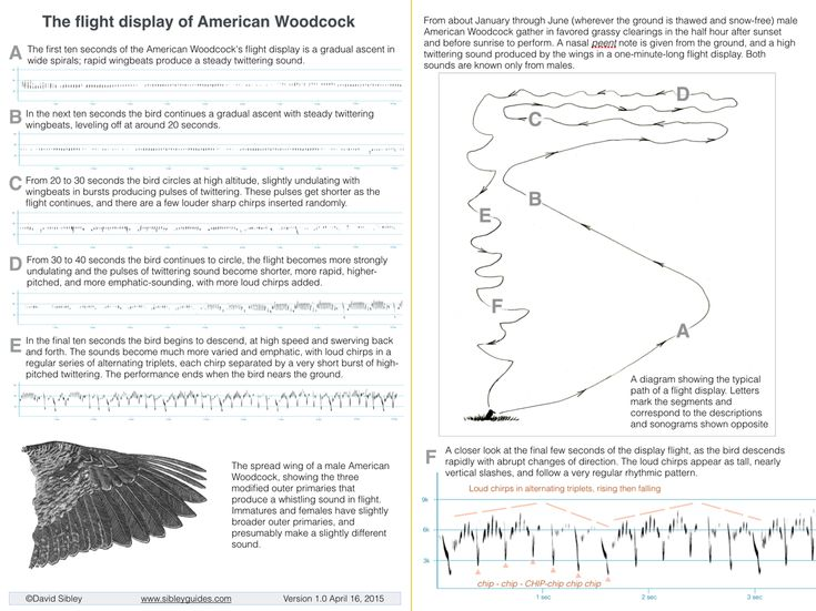 """A brief guide to the remarkable display of the male American Woodcock. Print the pdf on one 8.5 x 11"""" sheet of paper, fold it in half, and carry it in your Sibley Guide to Birds."""