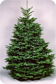 Noble Fir  Abies procera Rehd.  Common Characteristics:  These needles turn upward, exposing the lower branches. Known for its beauty, the noble fir has a long keep ability, and its stiff branches make it a good tree for heavy ornaments, as well as providing excellent greenery for wreaths and garland.