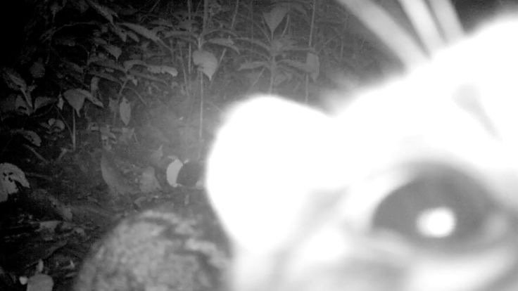 When your camera trap is under attack from a #marbledcat! Watch the clip in full #cameratrapping in #Sumatra: https://www.youtube.com/watch?v=hhlojuxx1lM&index=13&list=PLxs1X56SvmClp1oCHTz5iP56b6FNyPHL4
