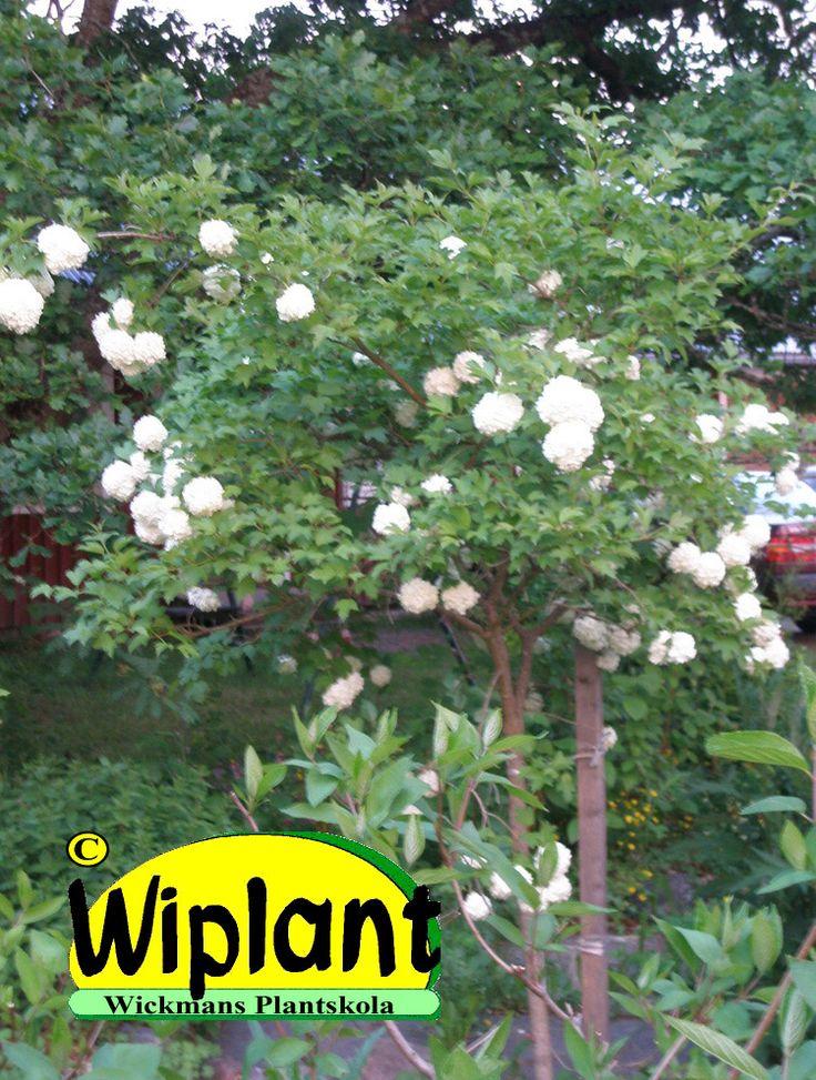Snöbollar på stam, Viburnum opulus 'Pohjanneito' här med FinE ursprung. Just det här fotograferingsåret hade den egentligen lite blommor, ett normalår är den översållad med bollar och det fina är att redan blomknopparna ser ut som limefärgade blommor så blomtiden blir därmed extra lång. Mycket härdig med en höjd på ca 2-3 meter.