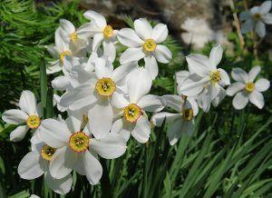 poeticus-daffodils