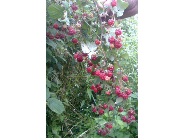 Vand butasi de zmeura, soiul cayuga Alesd - Anunturi agricole gratuite