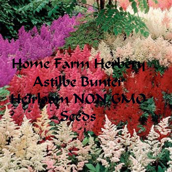 Astilbe Bunter Heirloom NON GMO Seeds..., Home   Outdoor In Hart County