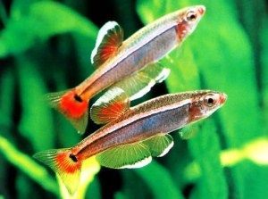 white cloud minnow
