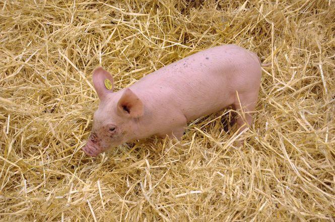 #Des porcs génétiquement modifiés pour donner leurs organes aux humains - Zinfos 974: Zinfos 974 Des porcs génétiquement modifiés pour…