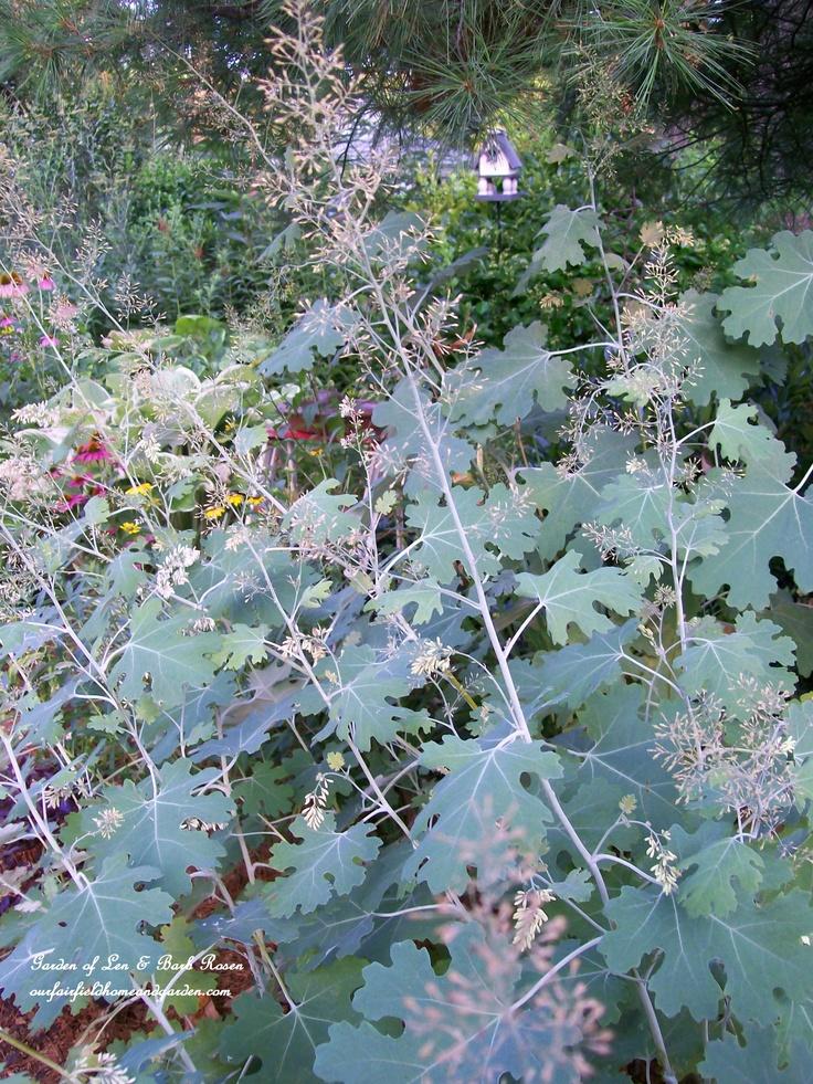 Plume Poppy  Garden of Len  amp  Barb Rosen   ourfairfieldhomeandgarden    Plume Poppy