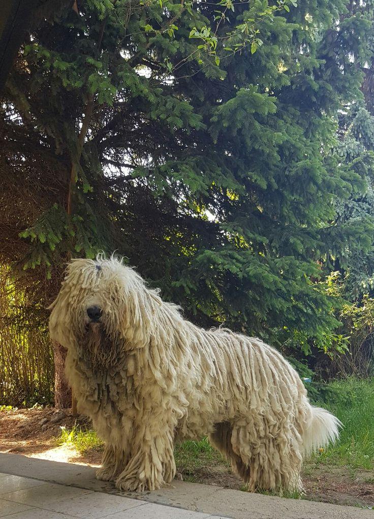 #komondor #hungarydogs #dogs #dog