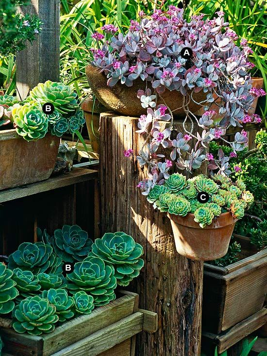 A large timber post serves as a tabletop for a spectacular flower dust plant displaying its splendid pink blooms. Several containers of echeveria accompany this flowering kalanchoe. One pot mounts to the post by means of a plant hook. The others rest on board benches. A. Flower dust plant (Kalanchoe pumila) -- 1 B. Echeveria imbricata -- 5 C. Echeveria secunda -- 3/